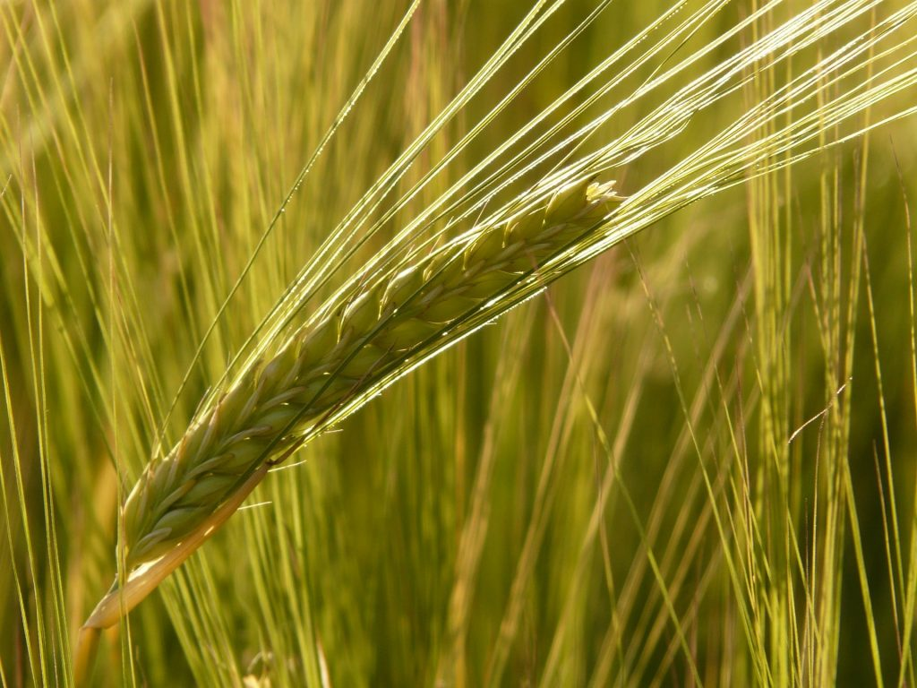 Malting Barley East Cork